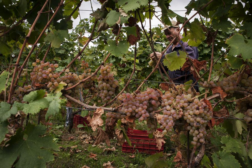 Gerardo momento vendemmia selezione uva