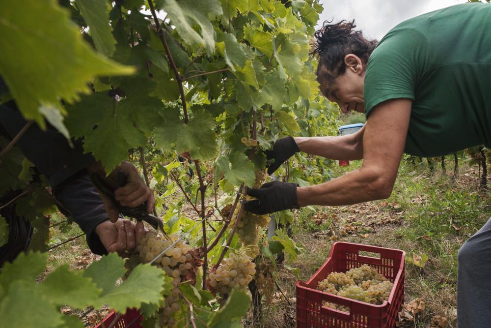 vendemmia selezione e raccolta uva