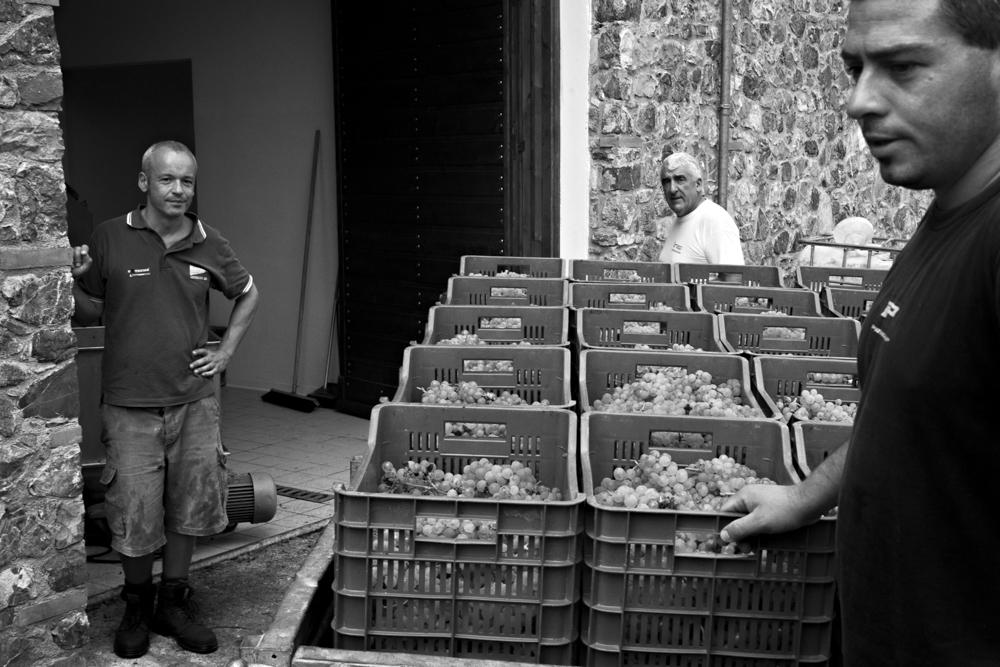 arrivo in cantina delle casse di uva raccolte-bn
