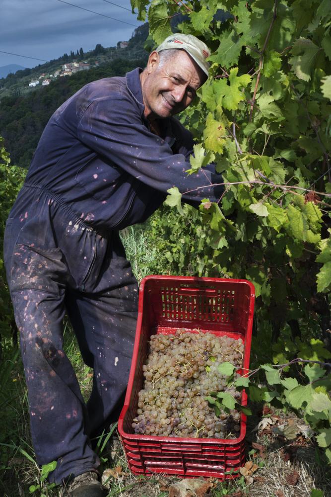 Gerardo seleziona i grappoli migliori