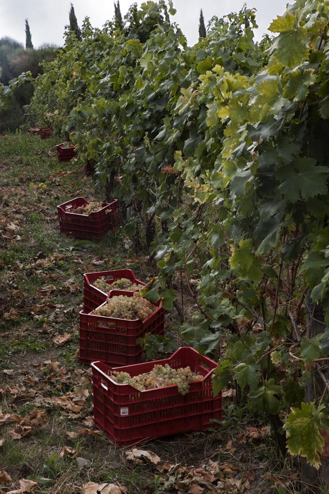 le casse piene d'uva durante la vendemmia