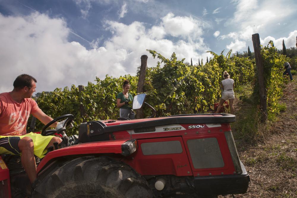 Uno sguardo dal trattore durante la vendemmia