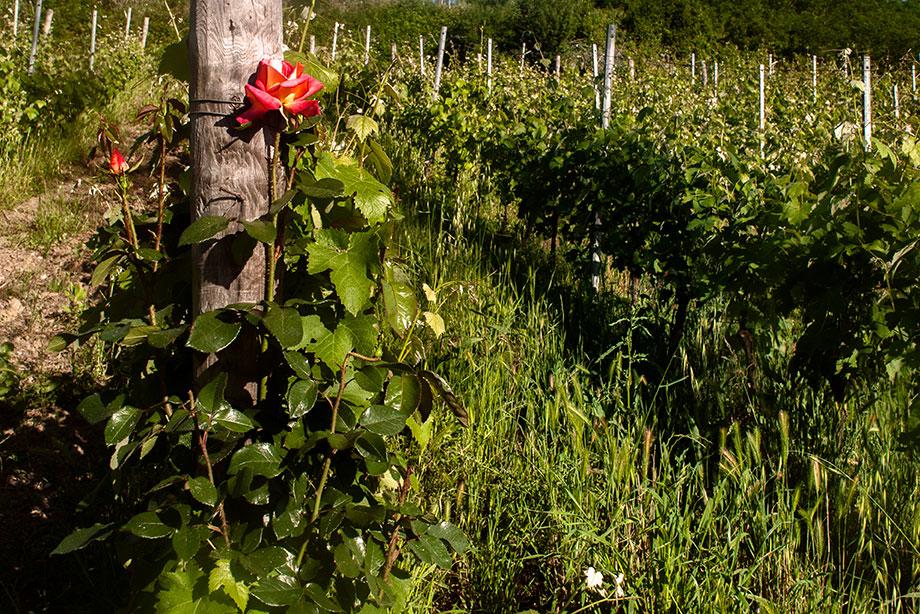 azienda_agricola_pascale_francesca una rosa